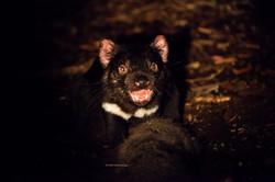 Tasmanian Devil, Australia.