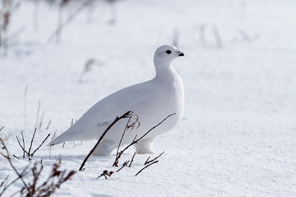 White-tailed Ptarmigan, Canada