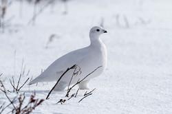White-tailed Ptarmigan, Canada
