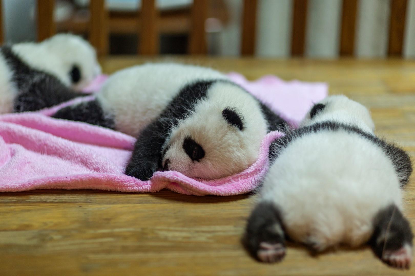 2 months old Panda