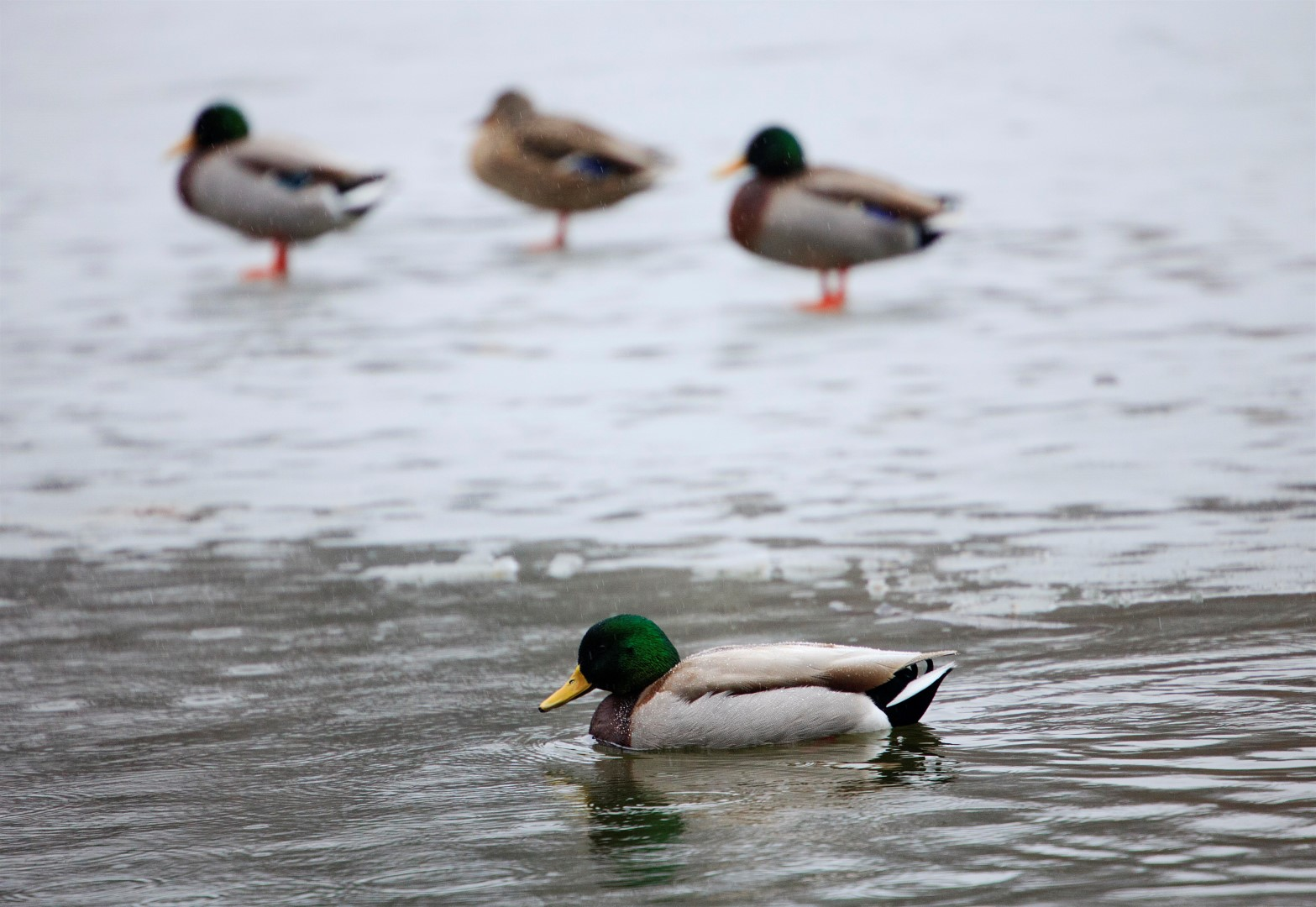 Mallard Ducks, USA.
