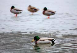 Mallard Ducks, USA.