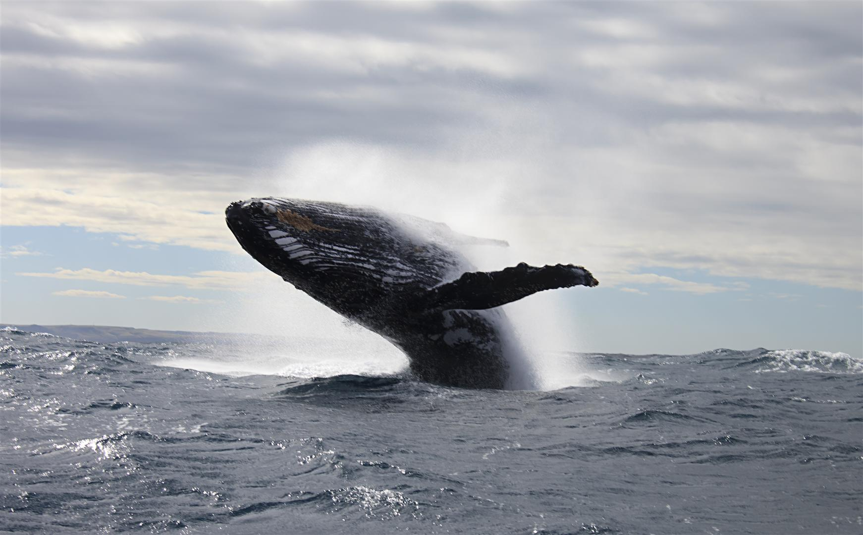 Humpback Whale, South Africa.