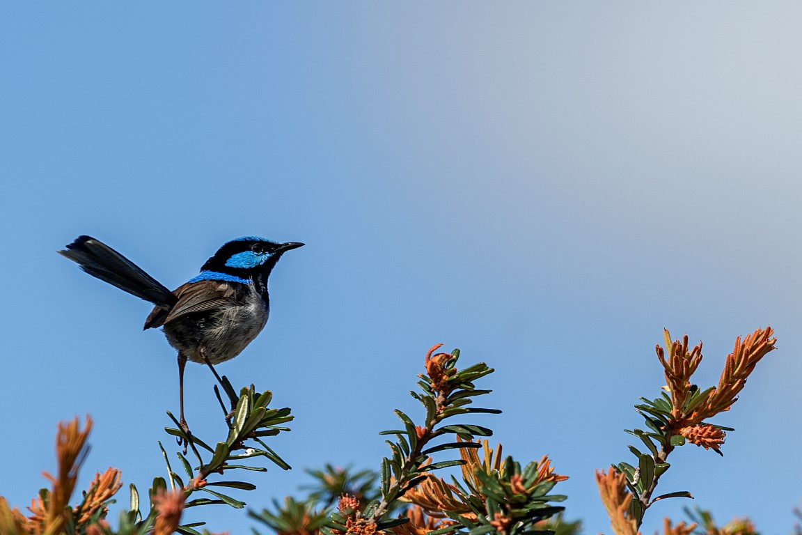 Superb fairywren, Australia.