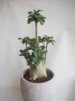グリーンピースの塊根植物
