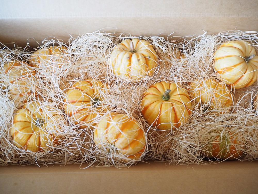 豊田市の花屋グリーンピース かぼちゃ入荷