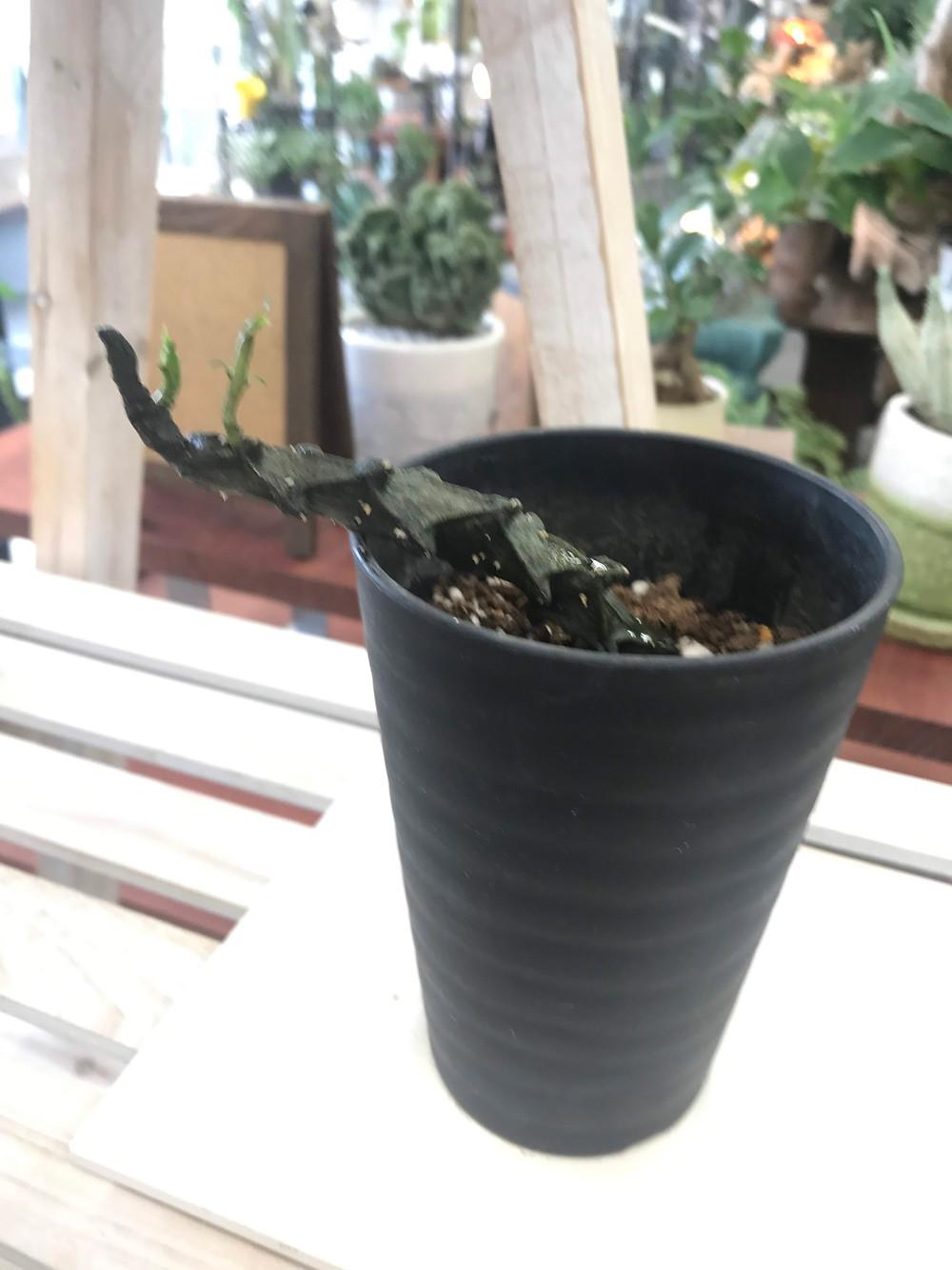 超レア品種。セロペギア ボッセリ