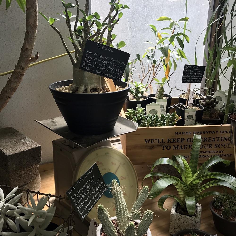 豊田市の花屋グリーンピースで塊根植物
