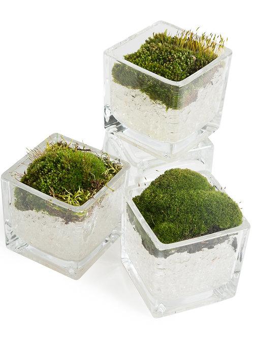 Mini Cube Indoor Moss Garden