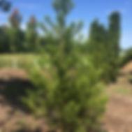 Sequoia giganteum. GIANT SEQUOIA