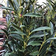 Prunus laurocerasus Russian Laurel