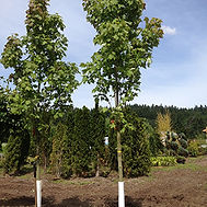 Acer rubrum. 'Bowhall' BOWHALL MAPLE