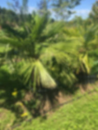 Trachycarpus fortune. WINDMILL PALM