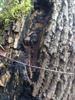 wood decaying fungus