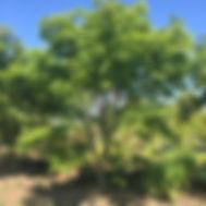 acer palmatum GREEN JAPANESE MAPLE