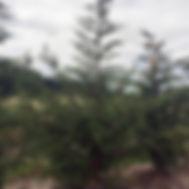 Cupressocyparis leylandii LEYLAND CYRPESS