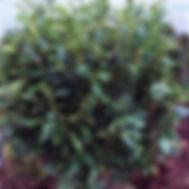 Prunus laurocerasus COMPACT ENGLISH LAUREL
