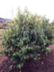 Prunus laurocerasus portugal laurel