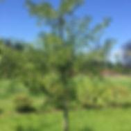 Ginko biloba. MAIDENHAIR TREE