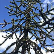 Araucaria araucana. MONKEY PUZZLE TREE