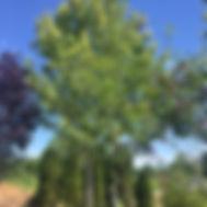 Amelanchier x grandiflora 'SERVICE BERRY' 'AUTUMN BRILLIANCE'
