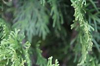 Thuja o. occidentalis 'Smaragd' EMERALD GREEN