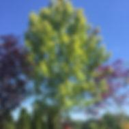 Acer rubrum. 'Autumn Blaze'