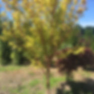 acer palmatum 'Sango Kaku' CORAL BARK MAPLE