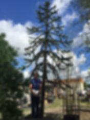 Araucaria araucana. 'MONKEY PUZZLE TREE' TREE