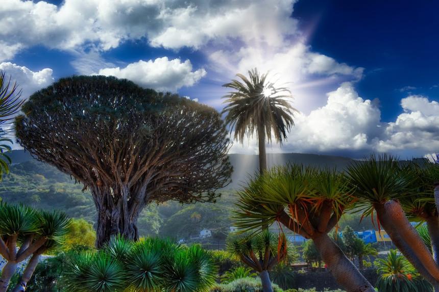 Dragon tree in Tenerife