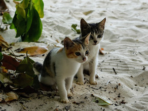 STRAY ANIMALS IN THE SEYCHELLES