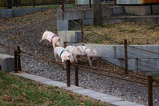 pig races pumpkin patch