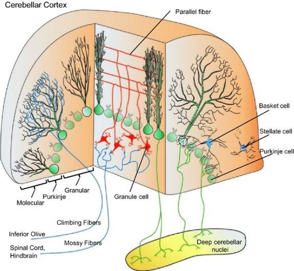 Schematic-of-the-cerebellar-circuit-show
