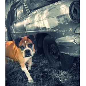 Dog Guards Car