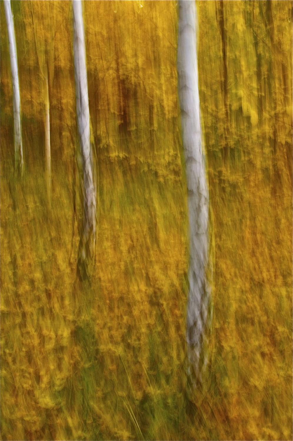 Birches, Autumn