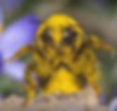Bee Pollen.png
