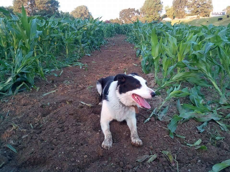 Ruby our Farm Dog