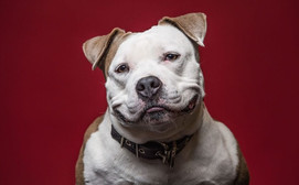 Across the US, more than 937 cities have breed specific legislation (or BSL) in place.