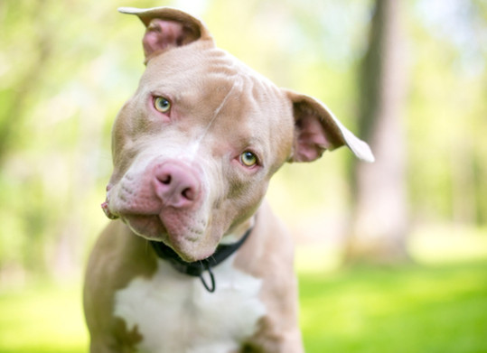 """Even beside BSL, as PETA states while describing the countless pit bull cruelty and neglect cases, """"There is no other single breed that is as abused as much as the Pit""""."""