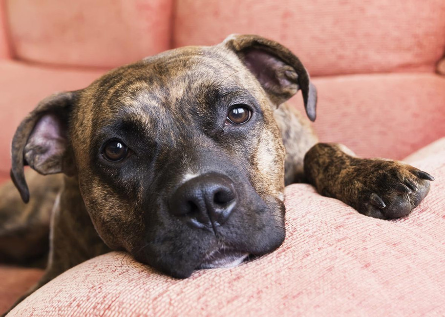 """As the American Pit Bull Foundation states in response to bans and eradication laws, """"They {pit bulls} are typically excellent athletes that can provide a wide variety of job-related tasks."""