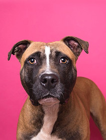 A study done by the Journal of the American Veterinary Medical Association looked at what factors tended to lead to fatal dog bites, which is a common theme among pit bull myths. However, this study found no evidence points to the breed being a factor of aggression, and their work specifically concludes that it's important to treat dogs as individuals, instead of lending to the stigma around breeds.