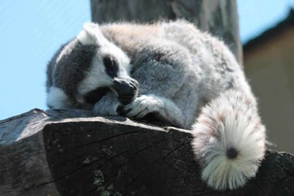 lemur-347543_960_720[1]