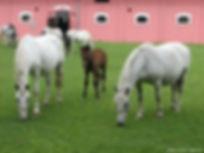 Jakovo Photo selectionnée par Lipizzan Haras de l'Etalon Blanc