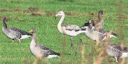 Flamingo jung