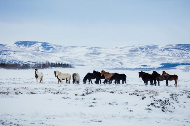 Islandpferde vor epischer Kulisse mit verschneiten Bergen mit dem Canon EF 300mm f/2.8 L IS