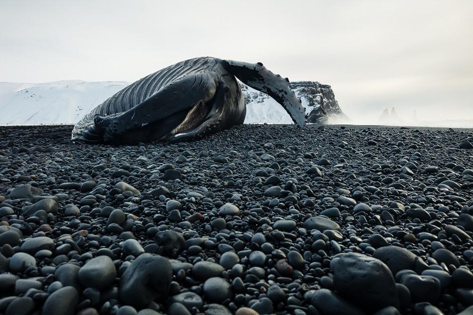 Was für ein Koloss! Gestrandeter Buckelwal am Strand in Island.