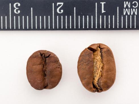 café_robusta_vs_arabica_bohne.jpg