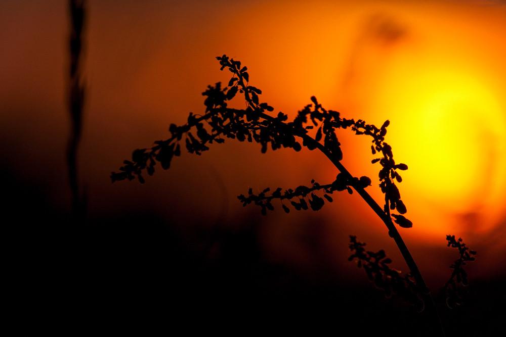 """Feuerball: An einem Sommerabend in Münster zog es mich während eines Sonnenuntergangs zum Fotografieren raus in die Rieselfelder. Der glutrote """"Feuerball"""" bot einen perfekten Hintergrund für diesen Ampferzweig, der durch die lange Brennweite im Bild scheint, als würde er im Bokeh bald verglühen..."""