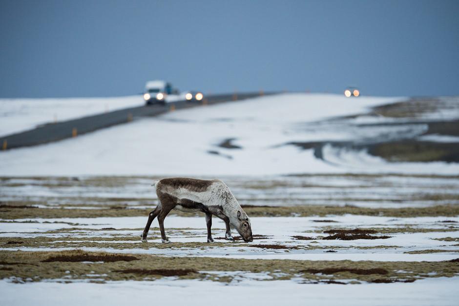 Und noch mehr Tiere, die ich zum ersten Mal in freier Wildbahn sehen und fotografieren konnte: ganz junge Rentiere.