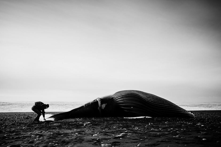 Strand Vík, Fotostory Island: Dieser Moment - zum ersten Mal so ein riesiges Säugetier, einen gestrandeten Buckelwal, am Strand liegend sehen, hat uns noch eine Weile beschäftigt. Ein bewegendes Erlebnis. Black and White.